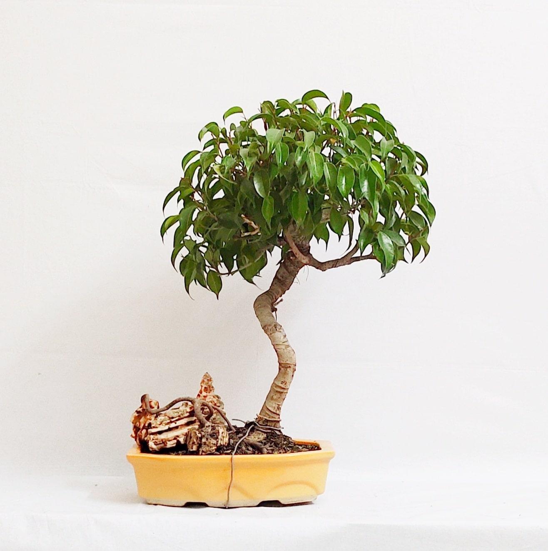 12 Year Old Bonsai Ficus Benjamina Informal Upright Style Bonsai Haat